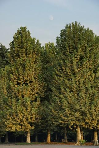 プラタナス並木と後の月