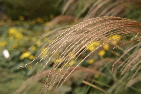 ススキの花穂