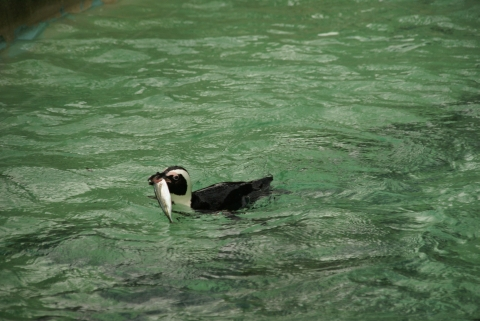 魚をくわえたケープペンギン