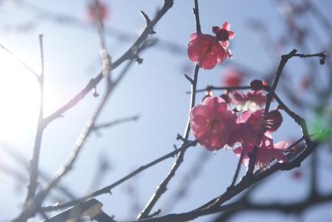 光を纏う紅梅