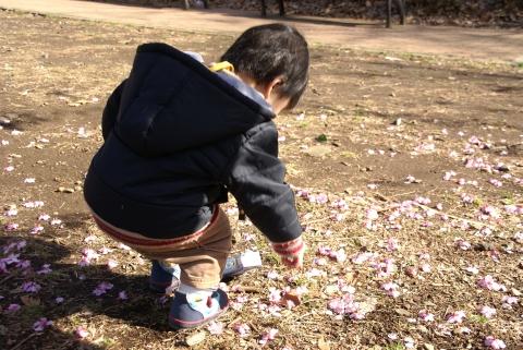 河津桜をつまむ悠真