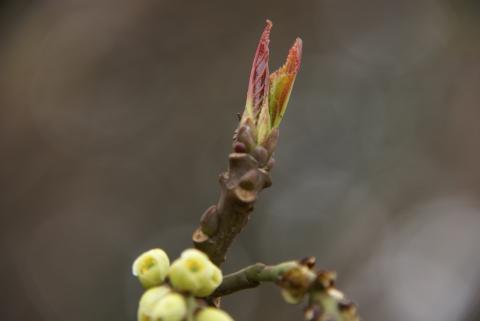 ハチジョウキブシの新芽
