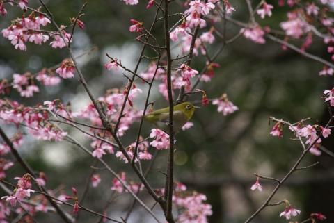 オカメ桜にメジロちゃん