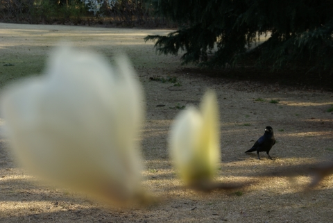白木蓮を眺めるカラス