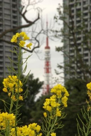 菜の花と東京タワー