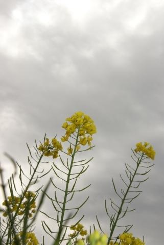 曇天に立つ菜の花
