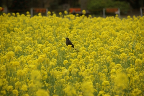 ヒヨドリと菜の花