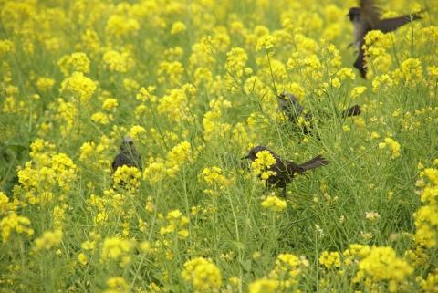 菜の花を襲うヒヨドリ
