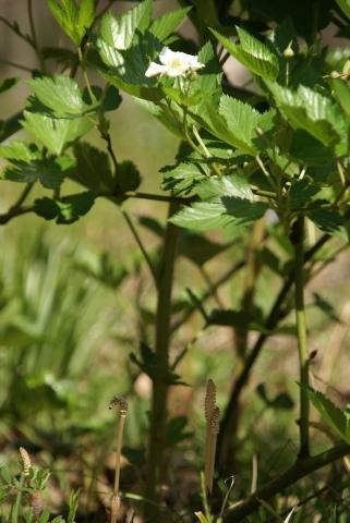 カジイチゴの葉蔭の土筆