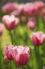 花びらのフリフリが可愛い花です