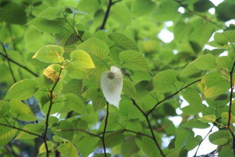 林試の森のハンカチノキ