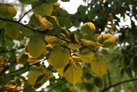 夕日に染まるハンカチノキの葉