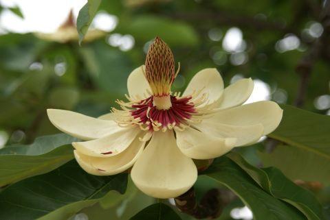 雄花期の朴の花