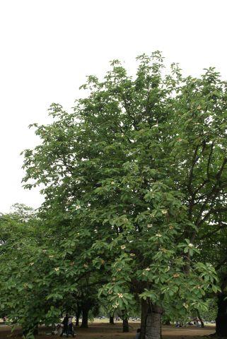 朴の木の大木