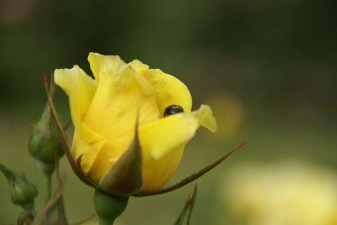 バラの中から・・・