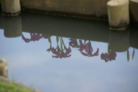 水鏡に映るハナショウブ