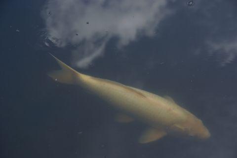 空を泳ぐ鯉