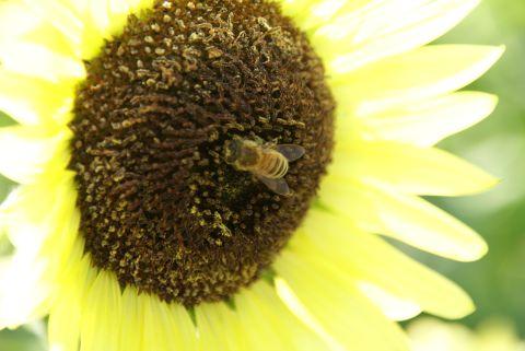 ミツバチと向日葵