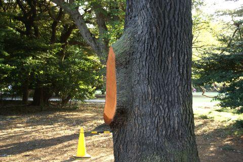 枝が折れたヒマラヤスギ