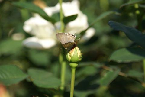 蝶のおまじない