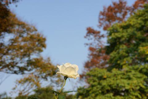紅葉とバラ