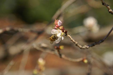 冬桜とハナアブ