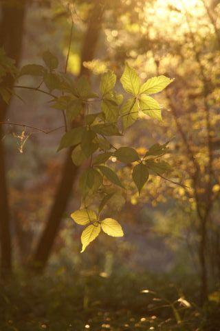 金色に染まる葉