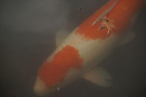モミジを纏う鯉