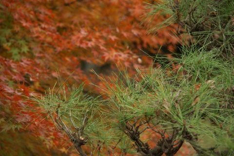 色変えぬ松と紅葉