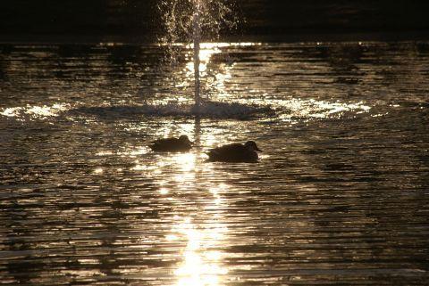 夕日の中のカモ