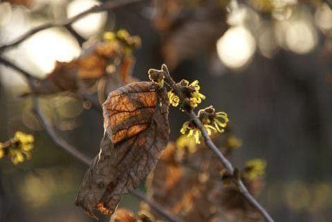 葉を散らさぬ支那満作