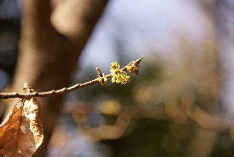 縮こまったマンサクの花