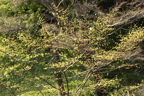 黄金色の山茱萸