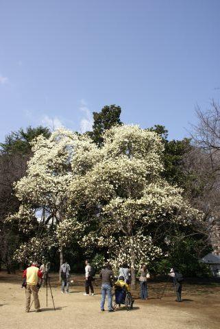 ハクモクレンの大木