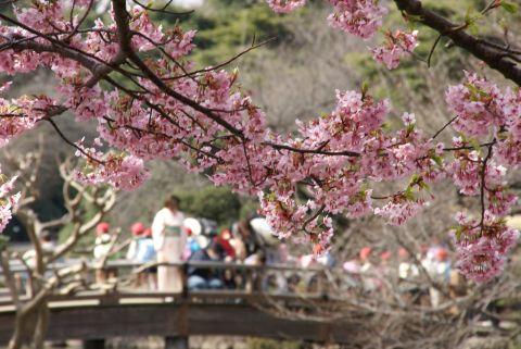 修善寺寒桜を楽しむ