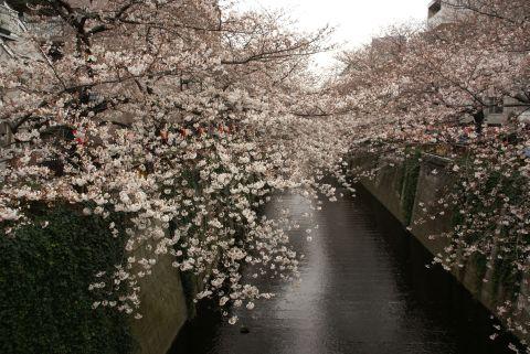 目黒川・朝日橋の桜