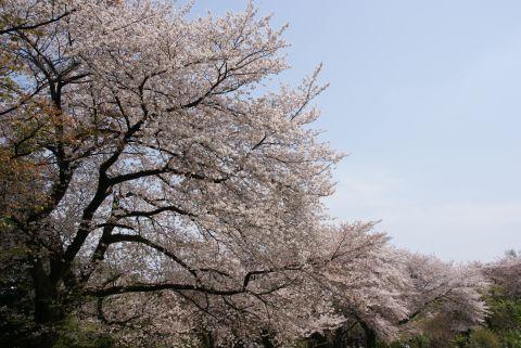 小石川植物園のサクラ