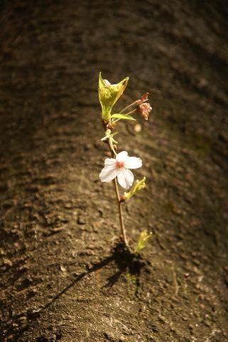 幹から咲くサクラ