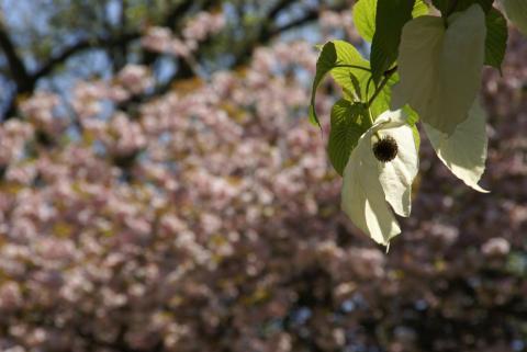 八重桜とハンカチノキ