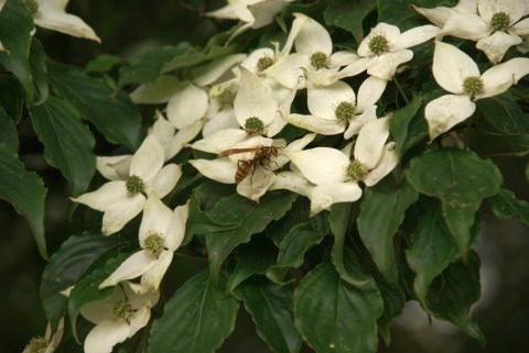 ヤマボウシにキアシナガバチ