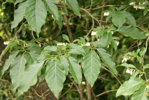 ネジキの葉