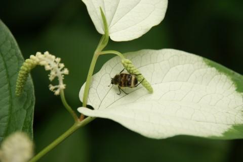 虫を惹きつける半夏生