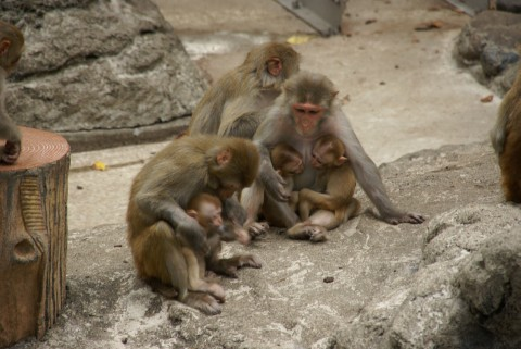サルの親子の集い