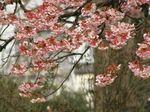 垂れ下がる枝の花も見事です