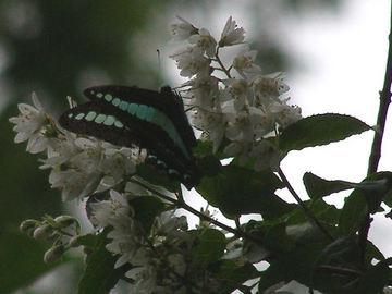 ヤブレガサと蝶