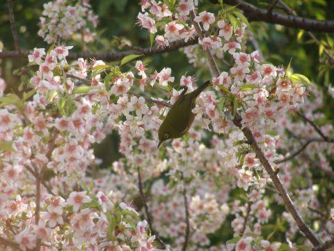 ヒマラヤ桜とメジロ