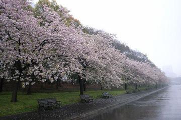 八重桜並木