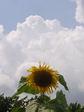 ヒマワリに沸き立つ雲!最高!
