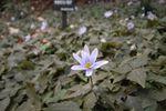 """""""雪割一華""""は薄紫色の可憐な花なんです"""