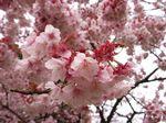 桜が咲き乱れる姿はやっぱりいい